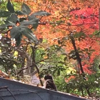 紅葉とにゃんこ.JPG